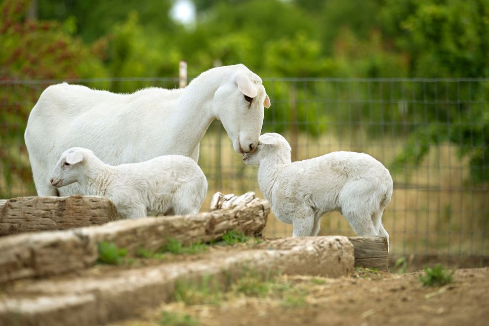 Small farm animals